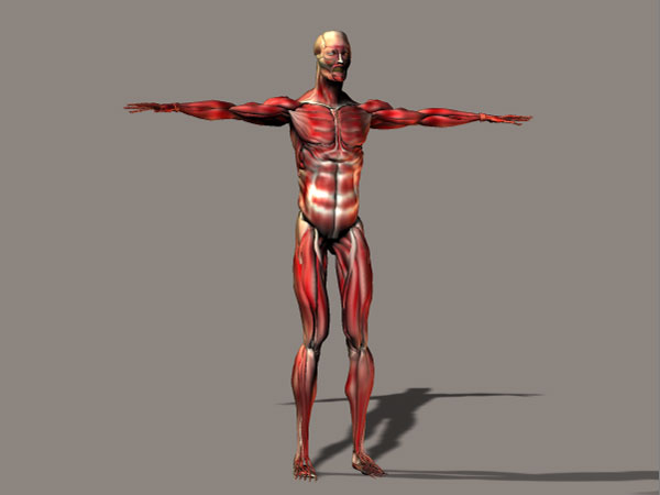 human anatomy man musculature model, (.3ds) 3d studio software, Muscles