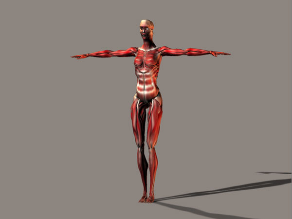 human anatomy woman musculature, (.3ds) 3d studio software, life forms, Muscles