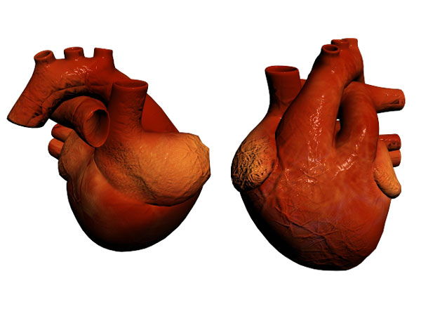 Human heart anatomy and physiology, ( 3ds) 3D Studio Max